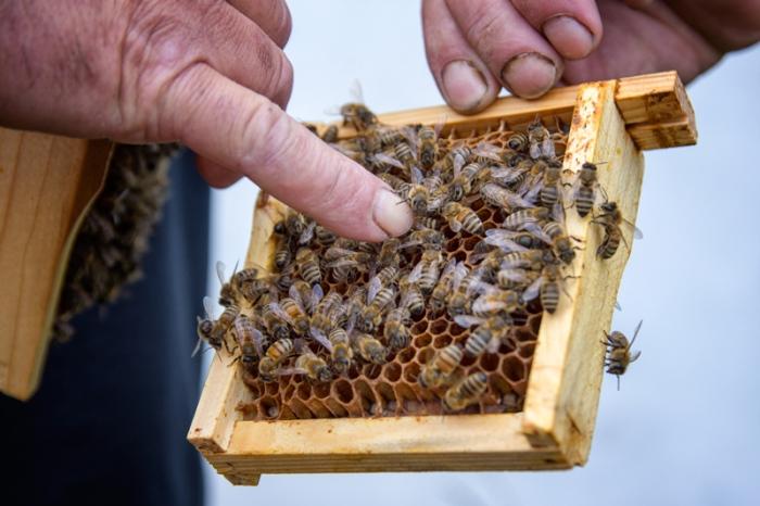 W poszukiwaniu pszczelej królowej